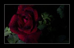 The Rose... by Jak-D