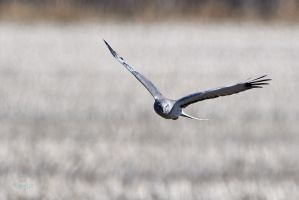 Northern-Harrier- The Gray Ghost by JestePhotography