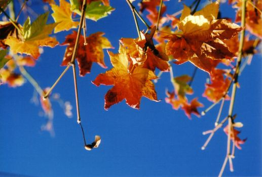 Fall leaves blue sky by siguy