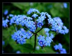 Forget-me-not For You by skarzynscy