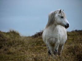 Welsh Mountain Pony III by celtes