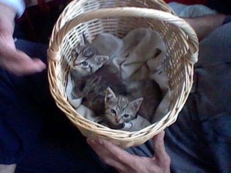 Kittens in basket by Tinyduck