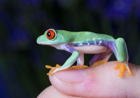 The pet frog by AngiWallace