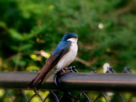 Swallow 2 by hm923