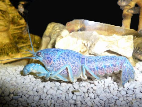 Electric Blue crayfish - Procambarus alleni by dreamwalker6677