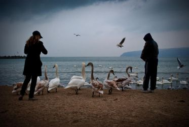 Swans by ivo-mg