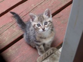 Thick striped kitten looking up 2 by Ripplin