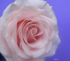 Sunday Rose 156 by Deb-e-ann