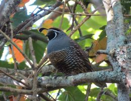 California quail by kiwipics