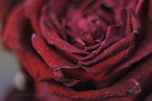 ~rose. by Grettiena