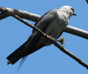 Mississippi Kite with a Meal by Mechalight