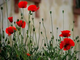 poppies ... by kapt73