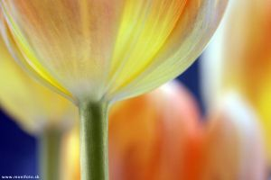 Tulips III by shalgona