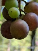 grapes coming in by Naturevulpex