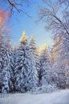 Snowy trees by Pajunen