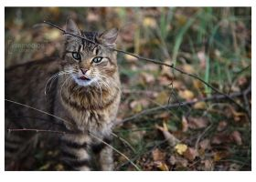 a forest cat by irremedios