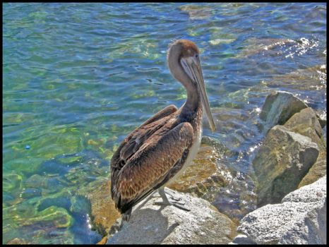 Pelican by Nkahler