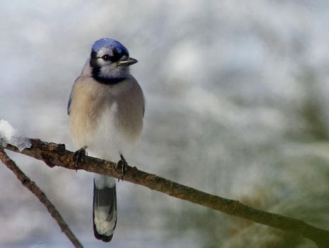 Blue Jay Softness by barcon53
