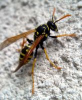 Paper Wasp on Stucco by woodythrower