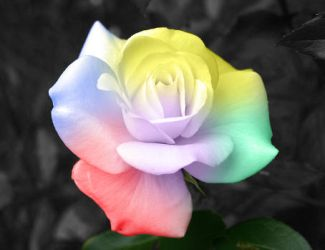 Rosa_colores by WarriorGS