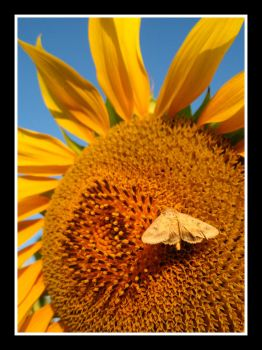 Moth on Sunflower by DrDra