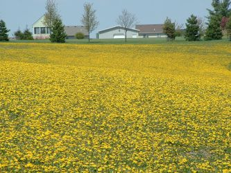 Yellow Field by nwinder