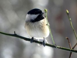 Black-Capped Chickadee 07 by AndromedaMaritimus