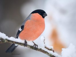 A Bullfinch by roisabborrar