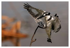 Pied Kingfisher Landing by MrStickman
