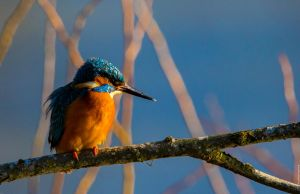 Kingfisher Diaries (4) by Mincingyoda