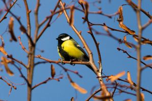 Great tit (Parus major) by paschlewwer