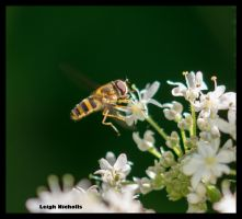 Hoverfly 2 by nicholls34