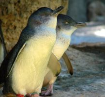 LITTLE PENGUINS by AdamsWife