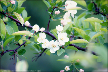 Apple blossom by littlemewhatever