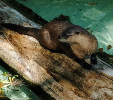 Otter by TiriaAncalime