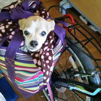 Family chihuahua goes for a bike ride by lestnill