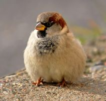 House Sparrow XI by nordfold