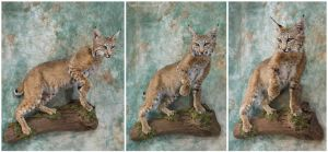 Bobcat Blues by WeirdCityTaxidermy