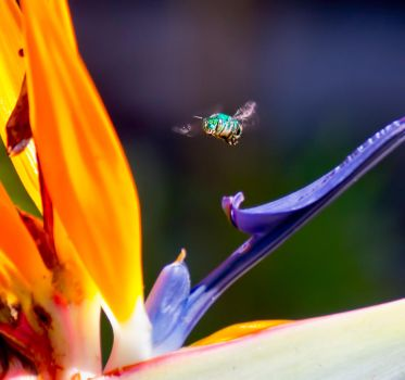 Green Bee 2 by philipe3d