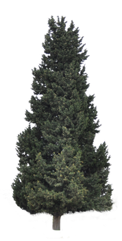 Coniferous tree for background in PNG by I-Mago
