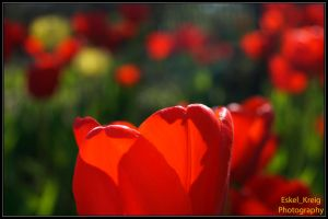 Red tulip by EskelKreig
