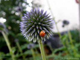 Ladybug on thistle by Zlajda95