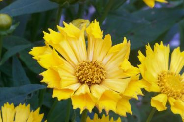 Jethro Tull Coreopsis I by MadGardens