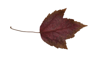 Leaf PNG Stock 3 by BeccaB-323-STOCK