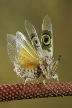 Spiny flower mantis 2 by bugalirious-STOCK