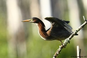 August Green Heron 2016 by natureguy