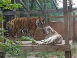 Bengal Tigers by ToshirotheKnightWolf