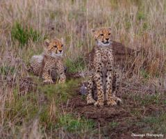 Cheetah Cubs Attention by Okavanga