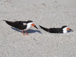 Black Skimmers by KSchnee