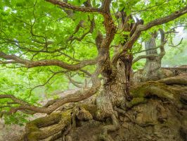 Two gnarly oaks with mighty roots, May green by zeitspuren